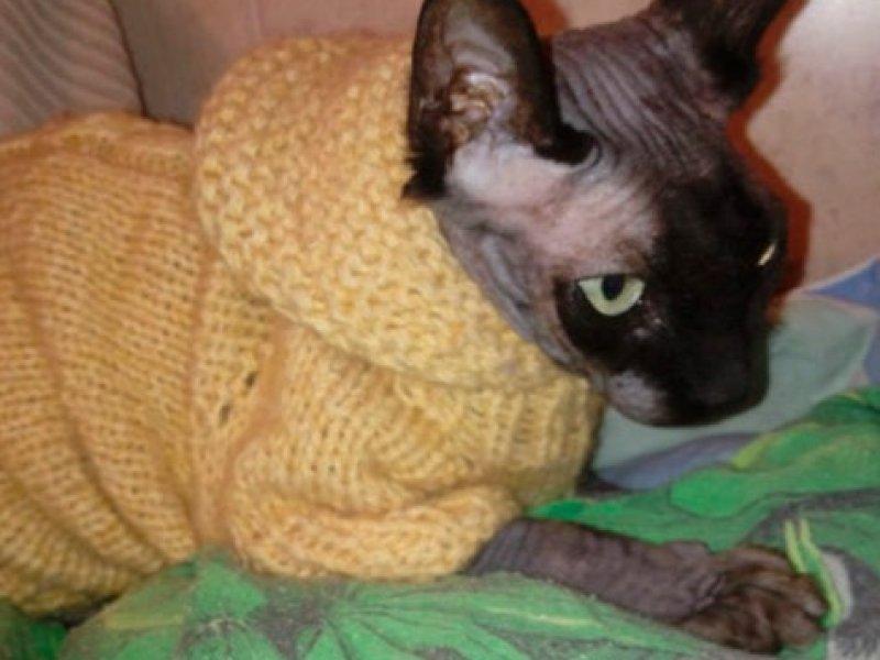 Канадский сфинкс. Кошка