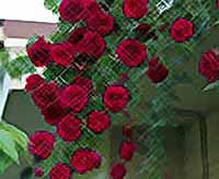 Розы в саду, на арках и стенах дома