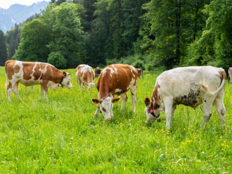 В Краснодарском крае поголовье молочных коров за пять лет выросло на 96%