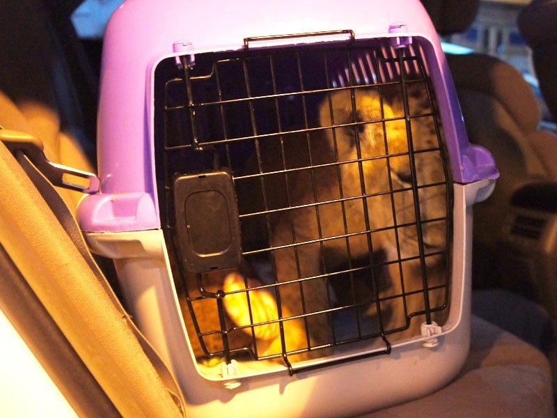 Задержан на границе за перевозку львёнка