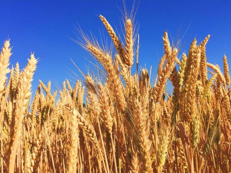 В 2019 году Россия может стать мировым лидером по экспорту зерна