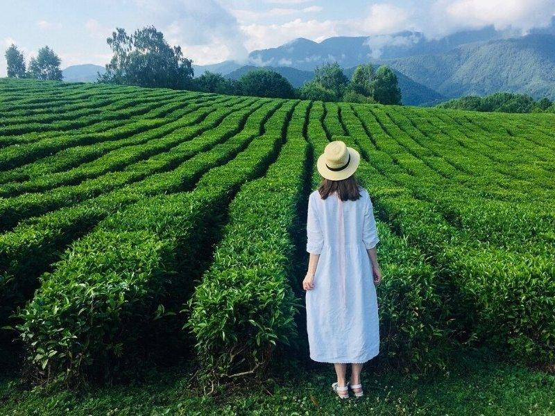 Власти Краснодарского края хотят объявить чайные плантации   особыми угодьями
