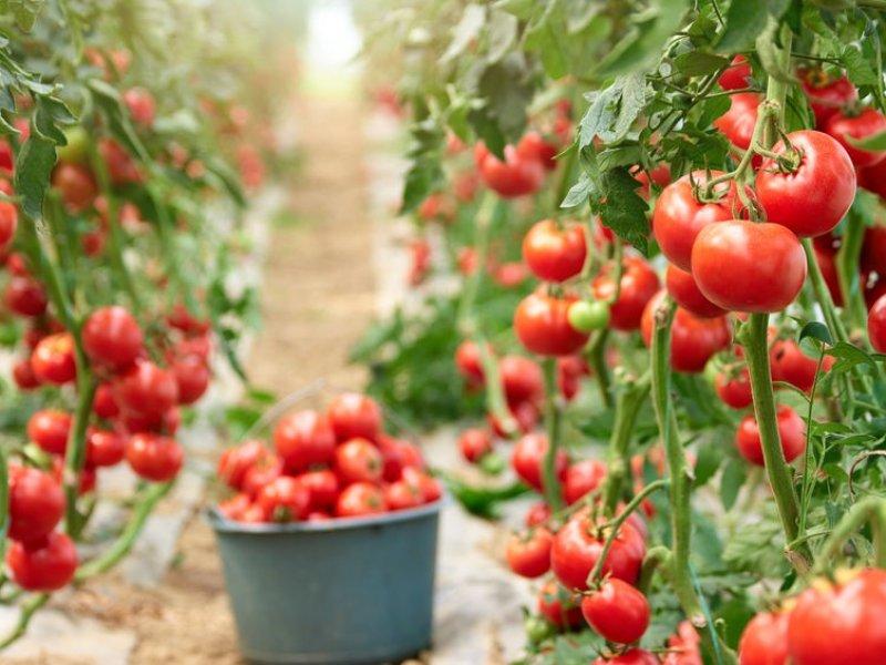 Краснодарский край на треть увеличил  производство тепличных овощей