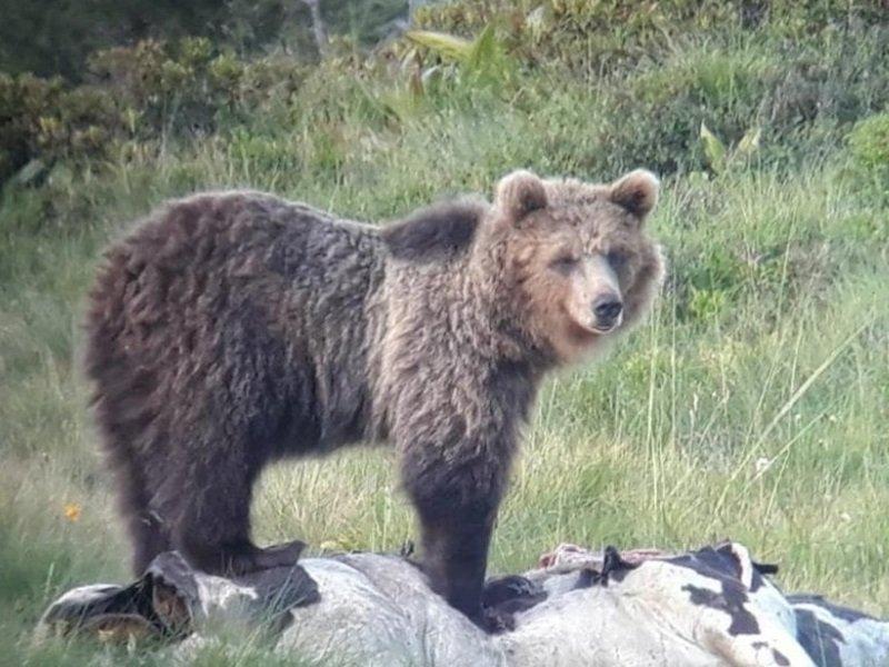 В Италии медведь залез на балкон - видео!