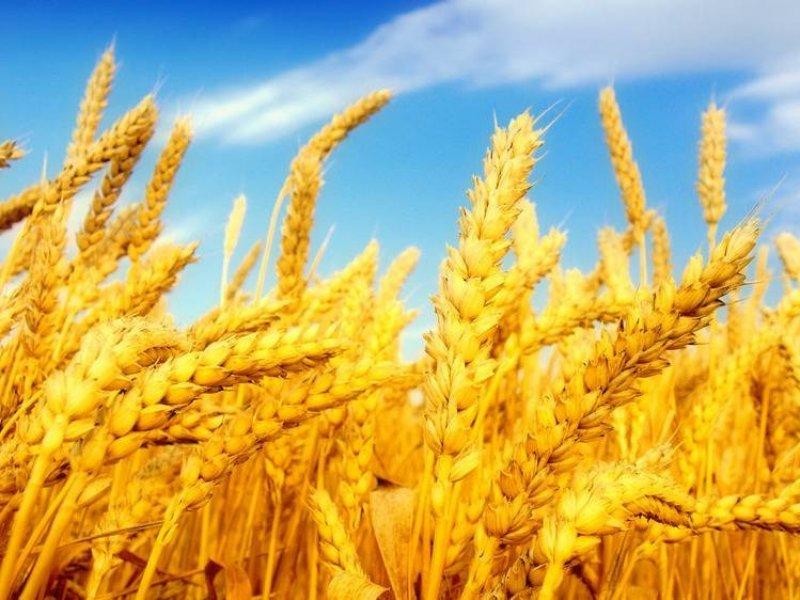 В России селекционеры вывели пшеницу, которая защищает человека от вирусов