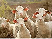 На Кубани планируют развивать собственное овцеводство