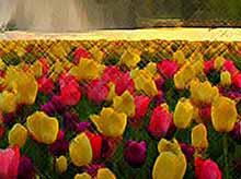 Самые яркие тюльпаны парка Кёкенхоф