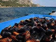 Пограничники наказали кубанца за незаконный сбор черноморской мидии
