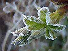 В Тимашевске 30 марта прогнозируют заморозки