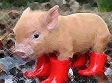 На Кубани нашли  кто виноват в распространении чумы свиней