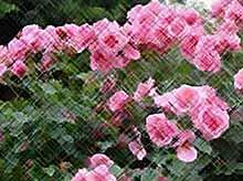Несколько наивных вопросов о розах