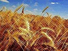 На Кубани в 2018 году планируют собрать не менее 15 млн. тонн зерновых
