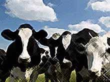 На Кубани семейная пара заработала на фиктивных коровах почти полмиллиона рублей