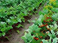 Овощи, которые нужно посадить рядом друг с другом.