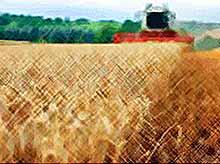Кубань  побила рекорд по урожаю зерна