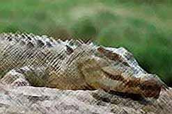В Краснодаре, в реке Кубань, ищут крокодила.