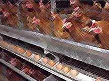 На КУбани крупнейшие птицефабрики могут разориться.