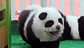 "Цирк выдавал за панд ""загримированных"" собак"