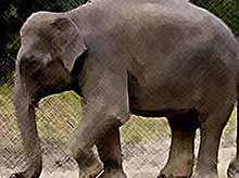 """В корейском зоопарке  появился \""""говорящий\"""" слон (видео)"""