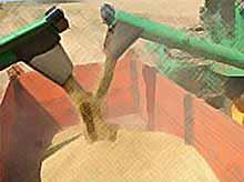 В России собрано 97 млн.тонн зерна