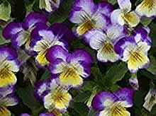Виолы в вашем саду