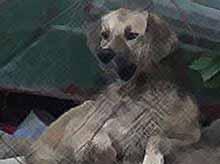 Верный пес из Крымска 5 месяцев ждет погибшую хозяйку  (видео)