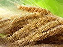 На Кубани реализация выращенного в крае зерна в 2017 году выросла на 1,4%