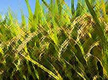 Краснодарский край сегодня  начал уборку риса.