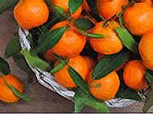 В Краснодарском крае  возрос спрос на мандарины