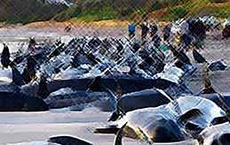 Дельфины массово выбрасываются на берег  (видео)