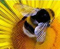 Почему исчезают пчелы : тайна  раскрыта [видео]
