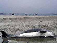 На Кубани , на побережье Анапы  аквалангисты нашли 20 мертвых дельфинов. (видео)