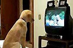 """Собаки смотрят цифровое ТВ и даже \""""подсаживаются\"""" на него"""