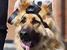 В Британии, полицейских собак оснастили видеокамерами