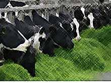 На кубани построят молочную ферму за 500 миллионов рублей