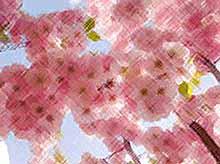 В Краснодаре в Ботаническом саду зацвела настоящая сакура