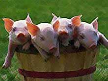 Крестьянам на Кубани запретят выращивать свиней.