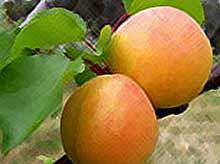 Ученые назвали самый полезный в мире фрукт