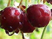Из-за сильных дождей садоводы  Кубани могут потерять 500 тонн черешни