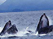 В Калифорнии стая китов чуть не проглотила купающихся людей (видео)