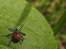 В Краснодарском крае  с начала сезона около 2,5 тысячи человек подверглись укусам клещей