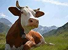 Самое полезное молоко дают только счастливые коровы