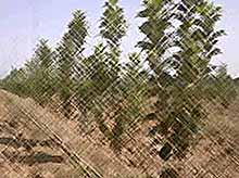 На Кубани в 2016 году будет высажено  1300 гектаров садов