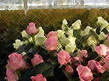 В Краснодарсом крае построили комбинат по выращиванию роз