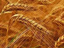 Урожай зерна в России в 2017 году  превысит 100 млн тонн