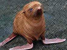 """""""Самый одинокий тюлень в мире"""" будет жить в Сочи. (видео)"""