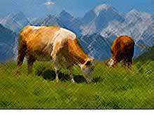Учёные создают уникальный вид коров, которым не страшно глобальное потепление