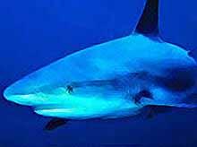 Стая крупных акул кружит близ Владивостока. (видео)