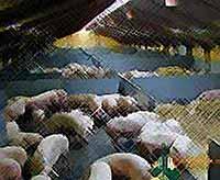 В Краснодарском крае  сократилось число производителей свинины