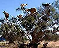 В Африке козы пасутся на деревьях (видео)